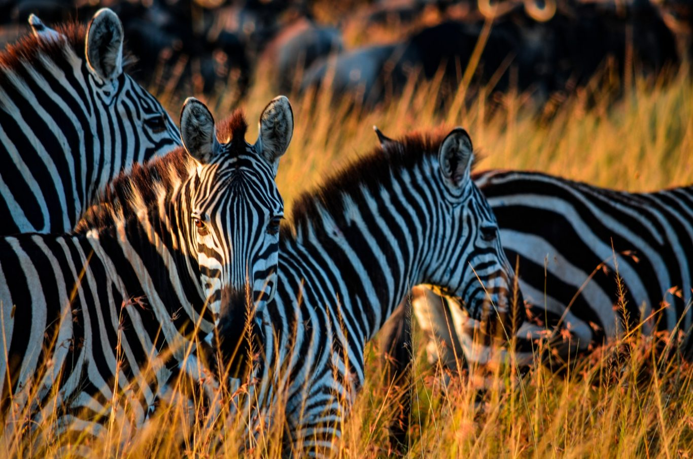 Zebras and Wildebeest in Serengeti National Park
