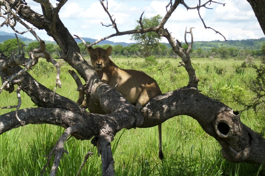 africa lion on tree