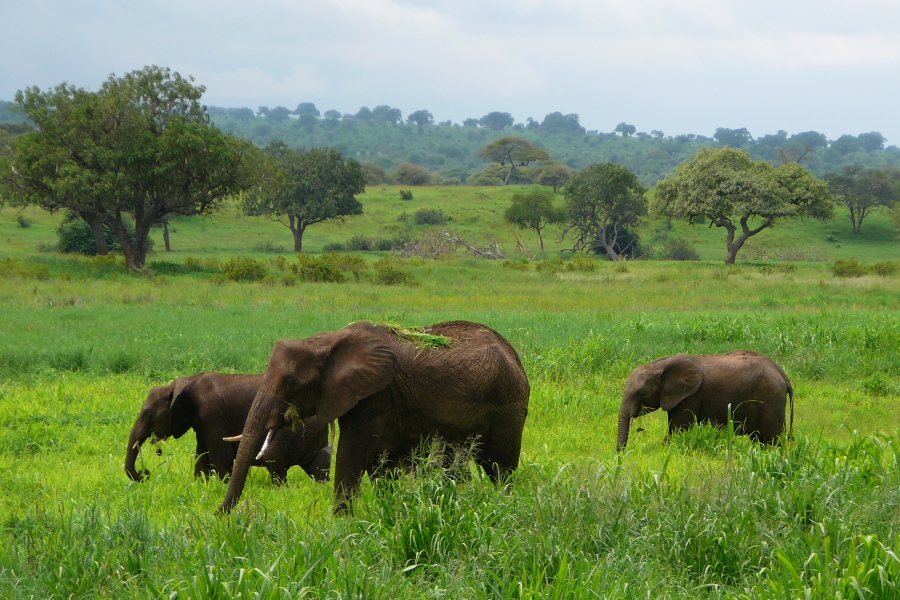 elephant feeding grasses
