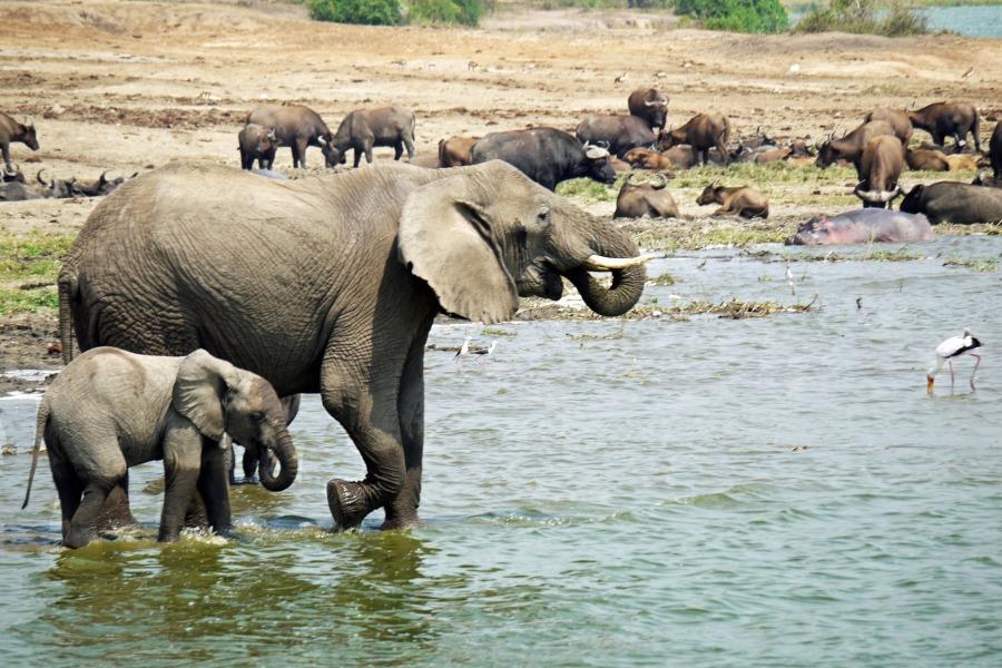 elephant in Queen Elizabeth National Park