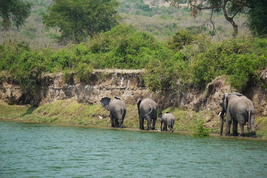 elephant in a river