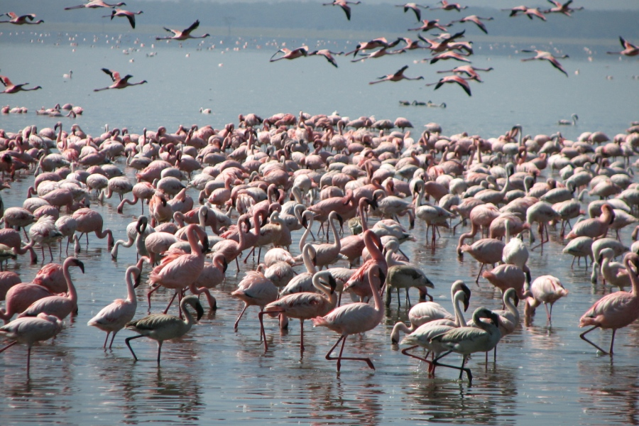 flamingoes in lake Manyara