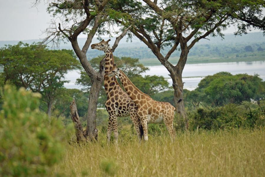 giraffes eating grasses
