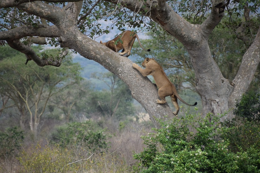 ishasha tree climbing lion