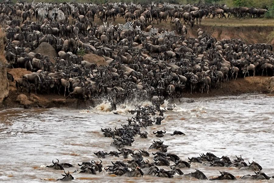 mara river crossing by wildebeest