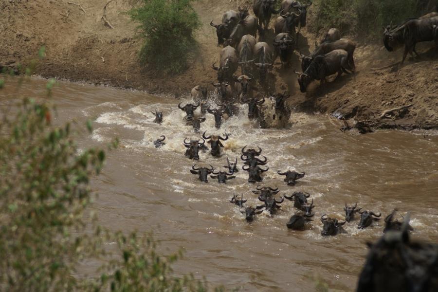 wildebeest crossing river mara