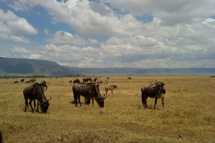 wildebeest eating grasses