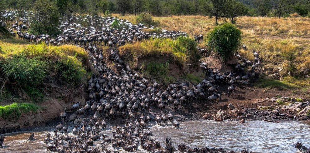 Wildebeest Crossing River Mara, Tanzania