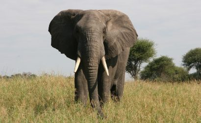 elephant eating grasses