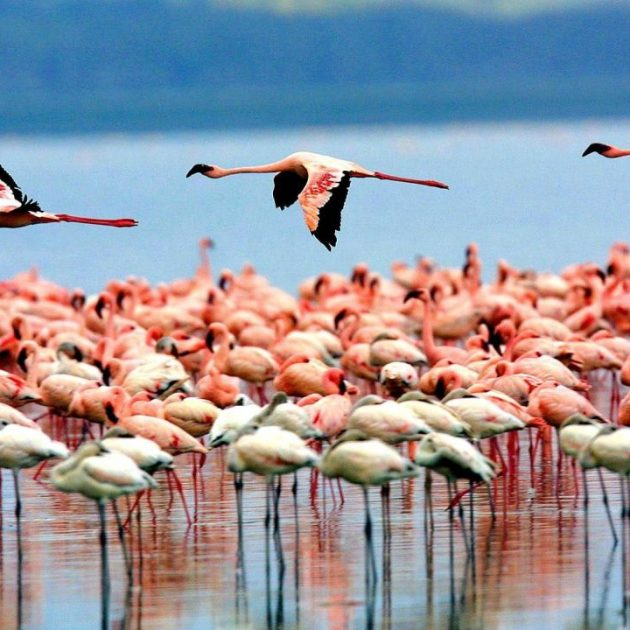 flamingoes in manyara