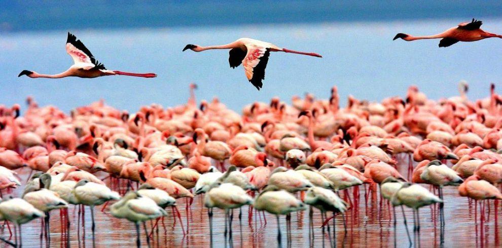 flamingoes in manyara