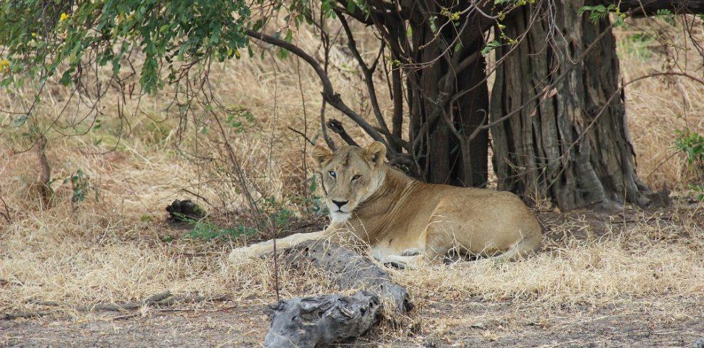 lion in mikumi