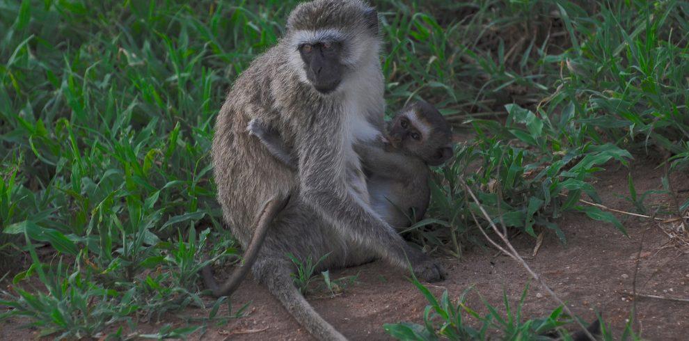 vertex monkey