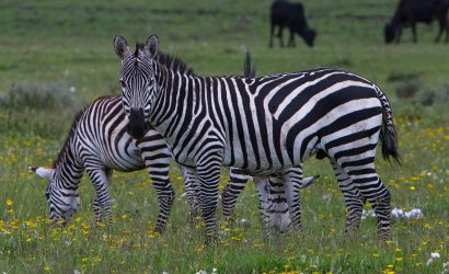 zebra eating grasses