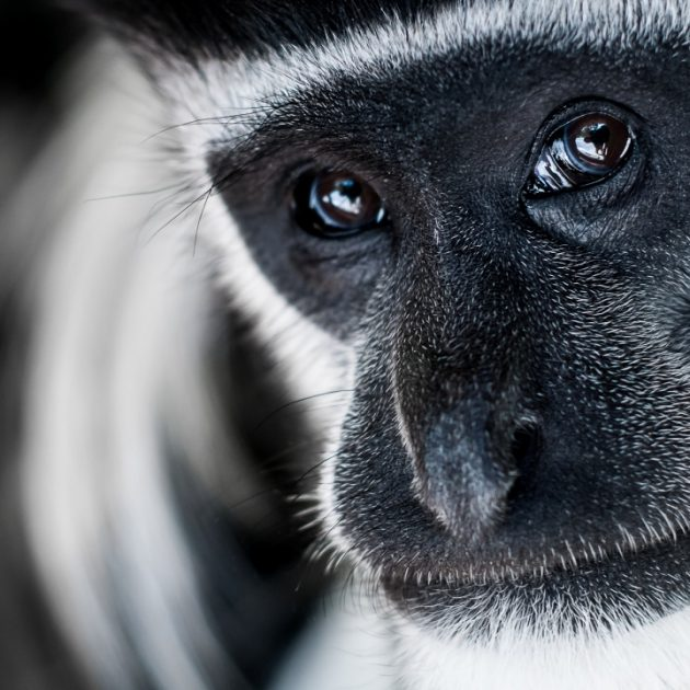 colobus monkey in arusha