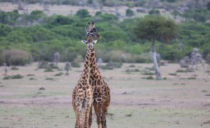 girafee in africa