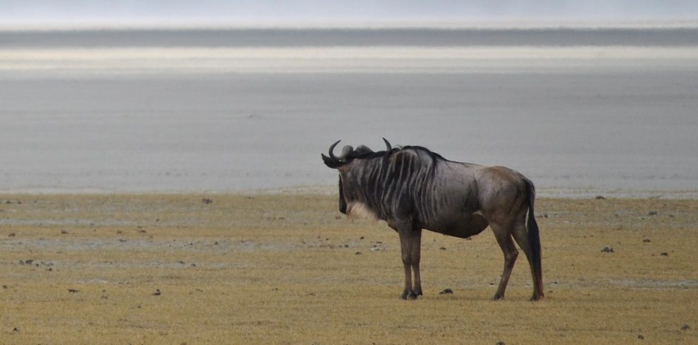 wildebeest in ngorongoro