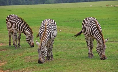 group of zebra eating grasses