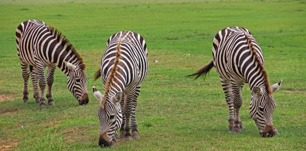 group of zebra eating grasses